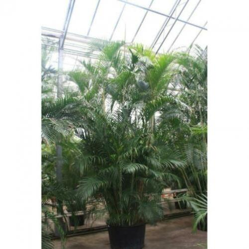 Dypsis Lutescens - Areca Palm art27222